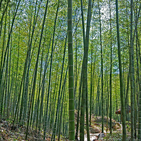 Bamboo from Madagascar